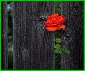 Rosa na cerca